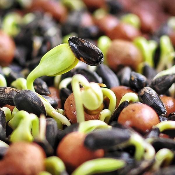 Семена и проращиватель